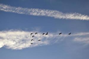 silhuetter av flygande hägrar