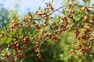 gren av nypon med frukt