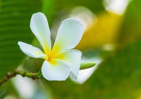 vit plumeria blomma