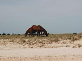 två häst som äter gräs