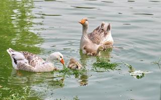 gäss med kycklingar på sjön