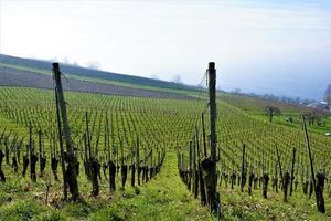 vingård vid Bodensjön foto