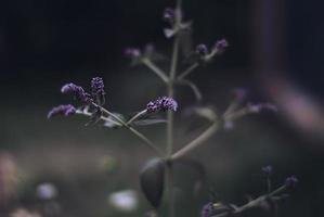 blommande mynta på nära håll på kvällen