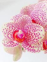 orkidé, blomma, rosa, fest, tur, hobby, kreativ foto
