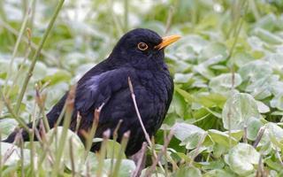 blackbird på växter lämnar