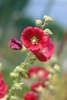 djupt röd mallow blomma på nära håll