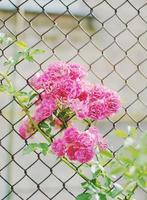 små rosa rosor blommar