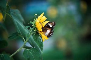 fjäril på solros foto