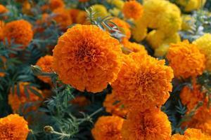 orange och gula ringblommor foto