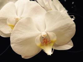 vit orkidé närbild