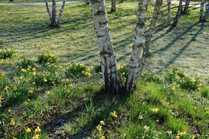björkträd i parken i Tyskland