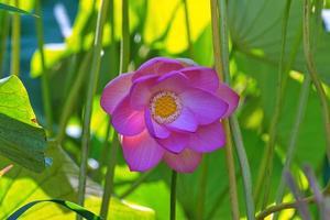 lotusblomma mellan bladen