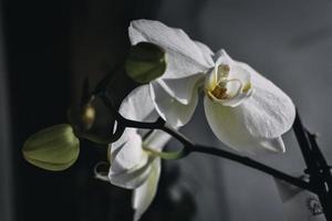 vit orkidé inomhus