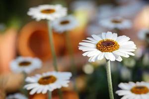 daisy blommor i en trädgård
