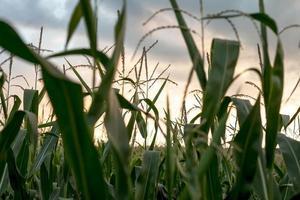 närbild av ett majsfält