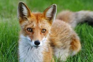 närbild av en räv