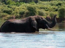 vilda elefanter i afrika foto