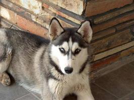 inhemsk husky hund foto