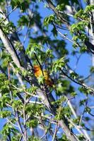 röd och gul fågel i ett träd foto