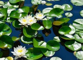 näckrosor på dammen