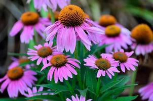 lila och orange färgade blommor