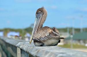 vilande brun pelikan