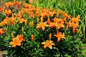 asiatiska liljor i parken foto
