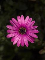 afrikansk tusensköna blomma foto