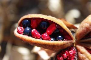 röda och svarta frön foto