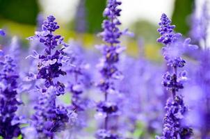 blommande salvia leucantha