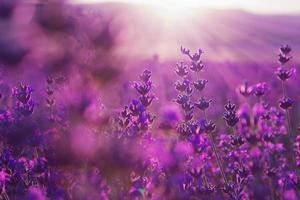 suddig sommarbakgrund av lavendelblommor foto