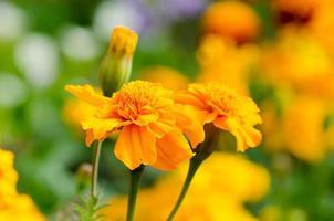 ringblommor, ljusa blommor på nära håll foto