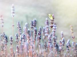 vit fjäril på lavendelblomma