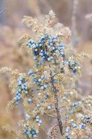 blå enbär på busken foto