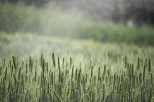 kornfält i vintage färgfilter. foto