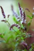 färska mynta blommor i trädgården foto