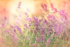 mjukt fokus på vacker lavendel i min trädgård