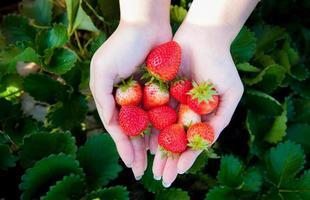 jordgubbe på kvinnahanden foto