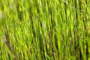 grönt gräs i solskenet