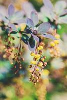 berberis blommor foto