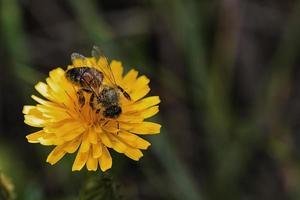 abeille butinante