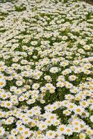 blomma bakgrund, daisy fält, daisy textur