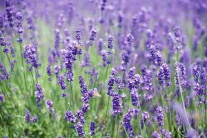 blommor av lavendel och flygande bin foto