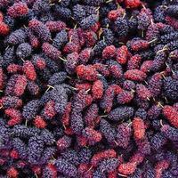 närbild ekologisk mullbärsfrukt skördad från gården. foto