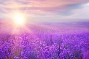 solnedgång över ett lavendelfält foto