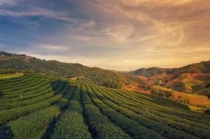 teplantage på doi mae salong i Chiang Rai, Thailand foto
