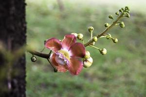 shorea robusta, även känd som sal eller shalaträd foto