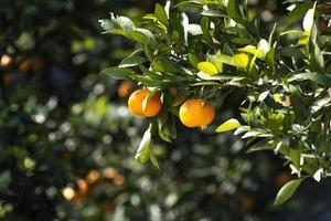 apelsinträd foto