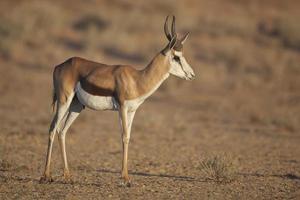 springbok i kalahari soluppgångsljus foto