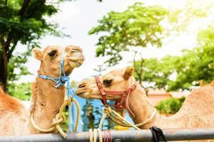 kamels leende ansikte foto
